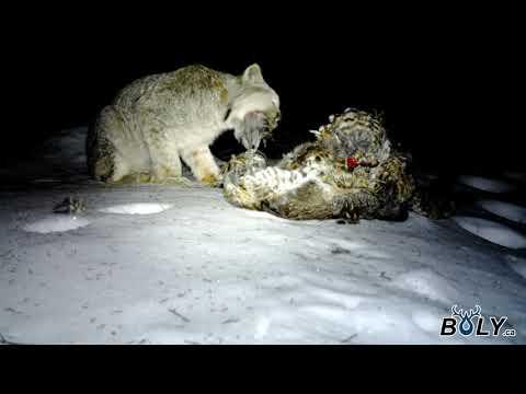 Lynx se nourri