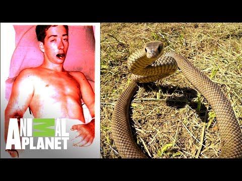Hombre es mordido por una de las serpientes más venenosas   El lugar más peligroso   Animal Planet
