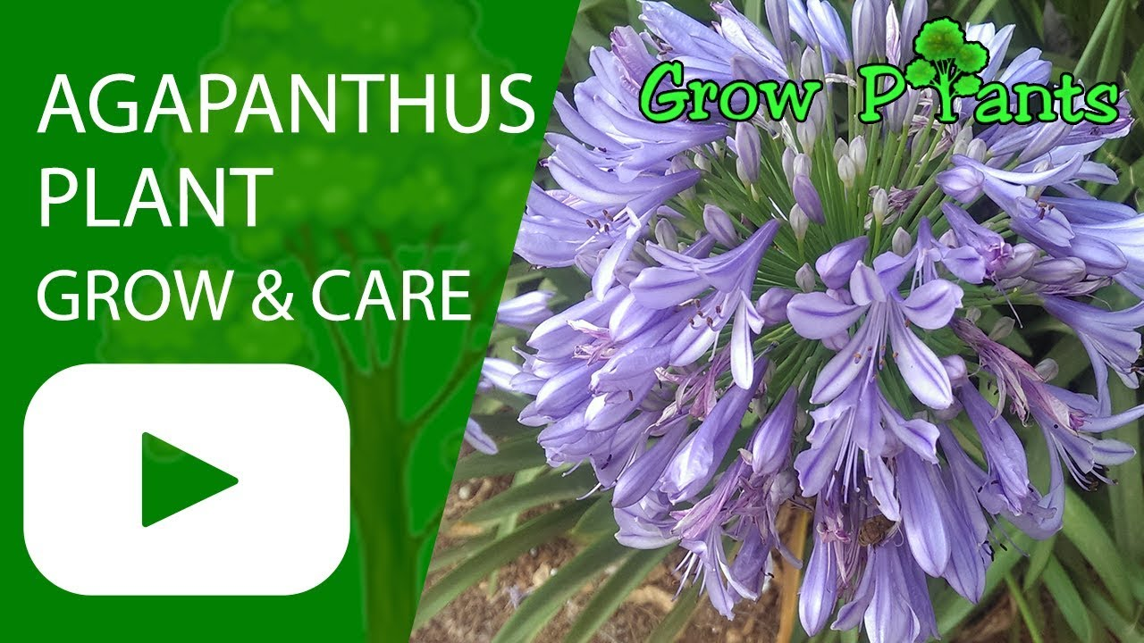 Agapanthus Plant Growing And Care Youtube