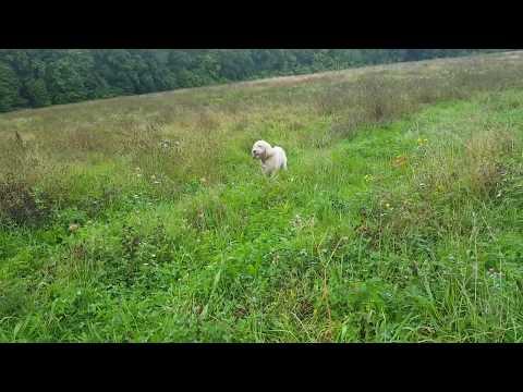 Dogs Playing - Dora (Beagle) & Oslo (Grand Basset Griffon Vendeen)