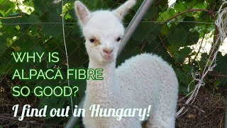 Alpaca Farm Visit in Hungary | Why is alpaca fibre so good? Let's find out!