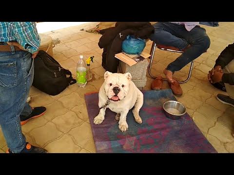Dog Show Ambala - Bhola Shola