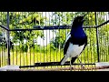 Suara Pikat Burung Kacer Lokal Super Ampuh Boleh Di Coba  Mp3 - Mp4 Download