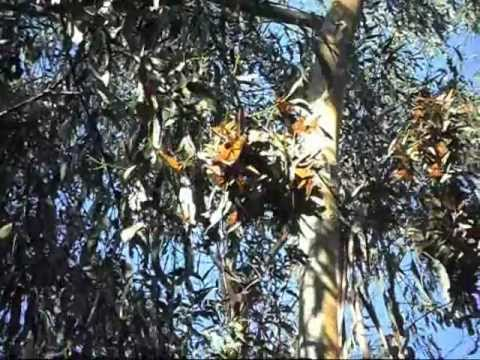 Monarch Butterflies At Ardenwood Farm In Fremont California