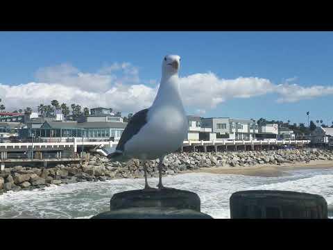 Curious Seagull (Redondo Beach, CA)