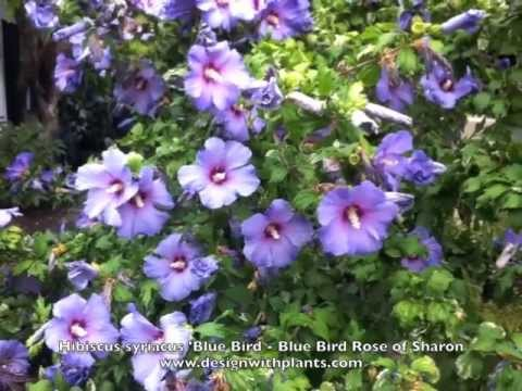 Hibiscus Syriacus Blue Bird Blue Bird Rose Of Sharon Youtube