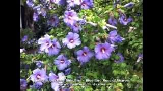 Hibiscus syriacus 'Blue Bird - Blue Bird Rose of Sharon