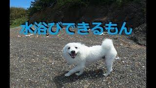 doglifeTV16話 日本スピッツ(サンゴ君)水浴びしてガリガリ犬になりま...