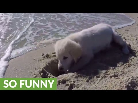 Thumbnail: Puppy furious after ocean water destroys his sandcastle