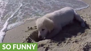 Puppy furious after ocean water destroys his sandcastle thumbnail