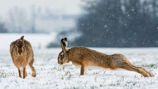 "Охота на зайца. Два выхода ""в лоб""."