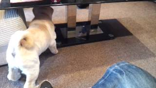 Dog Fight Shar Pei V Laso Apso