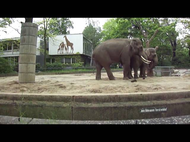 Elephants Mating at the Berlin Zoo May 2010 Travel Video