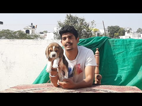 Show Quality KCl Registered Beagle Puppies Available For Sale India Cal 860 2929 599 Transportation
