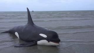 My animatronics Orca - วาฬเพชรฆาต ฝีมือคนไทย