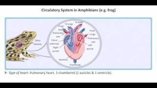 How amphibian hearts work