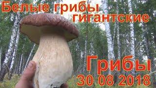 Грибы белые грибы гигантские 30 08 2018 Белый гриб рыжики маслята лисички волнушки Сбор грибов охота