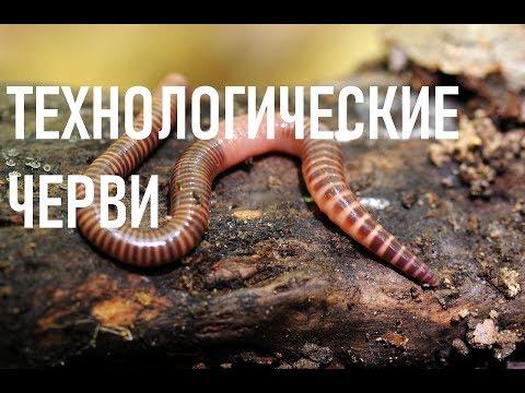 Червь для переработки навоза. Красный калифорнийский червь. Червь старатель. Дендробена.