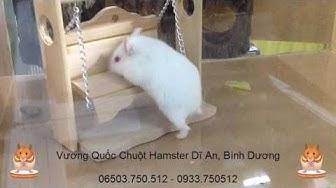 Chuột Hamster Chơi Xích Đu - Mà Lùn Quá Leo Đâu Có Được !!!