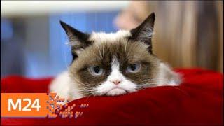 Умерла Сердитая кошка (Grumpy cat)- Москва 24