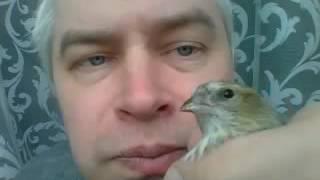 Самка чижа Птица Чиж
