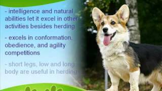 The Bold Pembroke Welsh Corgi