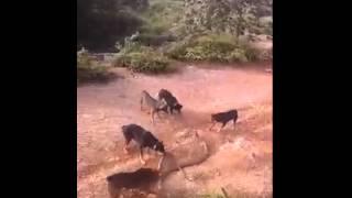 Собаки vs змеи бой