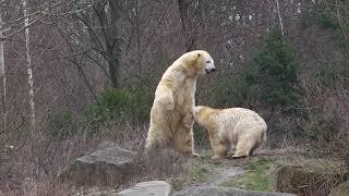 Zoo Hannover - Eisbären Sprinter und Milana
