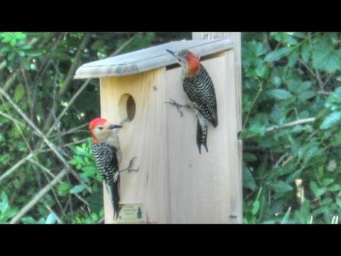 Woodpecker Couple Inspects Nest Box