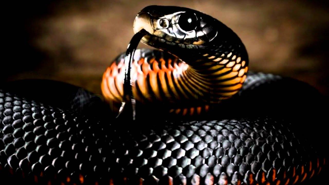 I 10 serpenti pi velenosi al mondo youtube for Veleno per serpenti