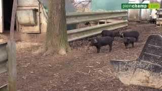 Porc noir de Bigorre : une race d'exception