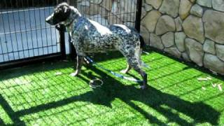 Gunner A533495 German Shorthaired Pointer Mix At Sacramento County Shelter