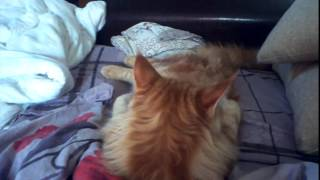 котенок мейн куна и обычной кошки.mp4