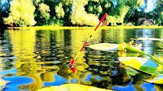 ЛОВЛЯ КАРАСЯ на ПОПЛАВОК в кувшинках Рыбалка на поплавок
