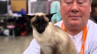 Kissat: Siamilainen kissa