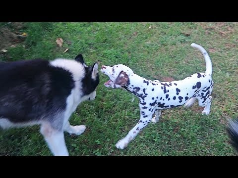 Dalmatian Puppy Playing with Huskies First Time