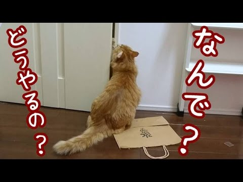 おもしろ子猫🐱ドアを開けるのが恐ろしく下手な兄猫の巻【5Ferret2Cat】Brother cat who can not open the door【Cute dog & cat】
