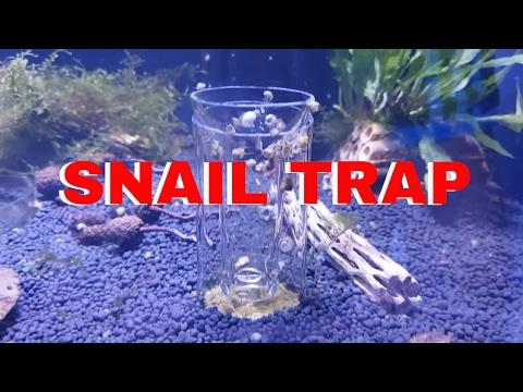 Snail Trap And Feeding Dwarf Baby Puffers
