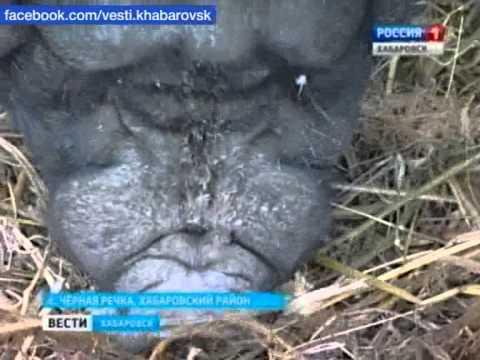 Литва продаёт породистых поросят в Россию,на Кубань.Балтимор .