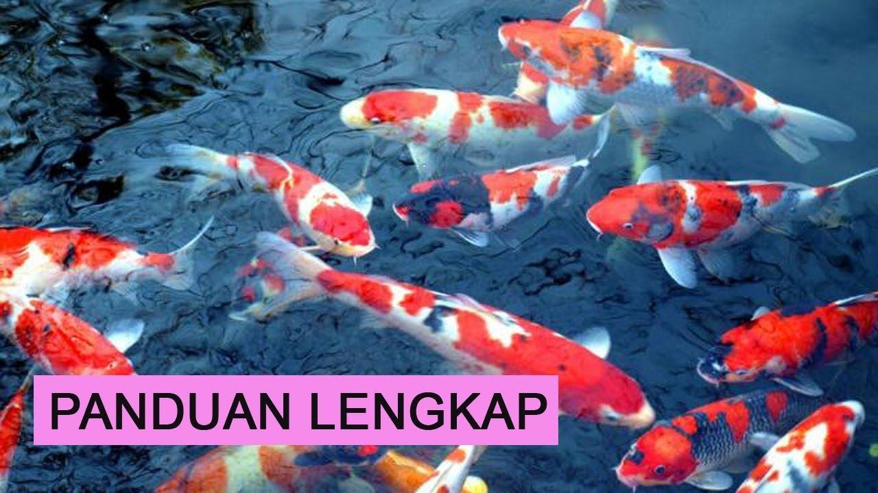 Cara Budidaya Ikan Koi Bagi Pemula Agar Cepat Besar Youtube
