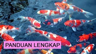 Cara Budidaya Ikan Koi Bagi Pemula Agar Cepat Besar