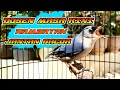 Masteran Rambatan Jantan Full Gacor  Mp3 - Mp4 Download