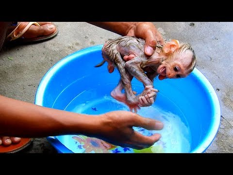 Monkey Midi Take A Bath At Evening He Cry Very Loudly