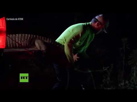 Encuentran un caimán debajo de su coche