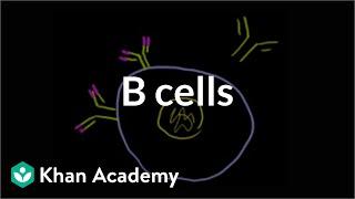 B lymphocytes (B cells) | Immune system physiology | NCLEX-RN | Khan Academy