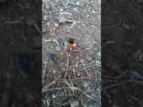 Una velutina devora el cadáver de un pájaro en Piugos
