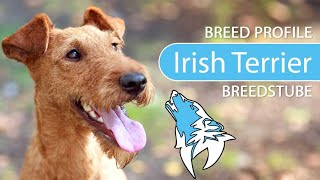 Irish Terrier Breed, Temperament & Training