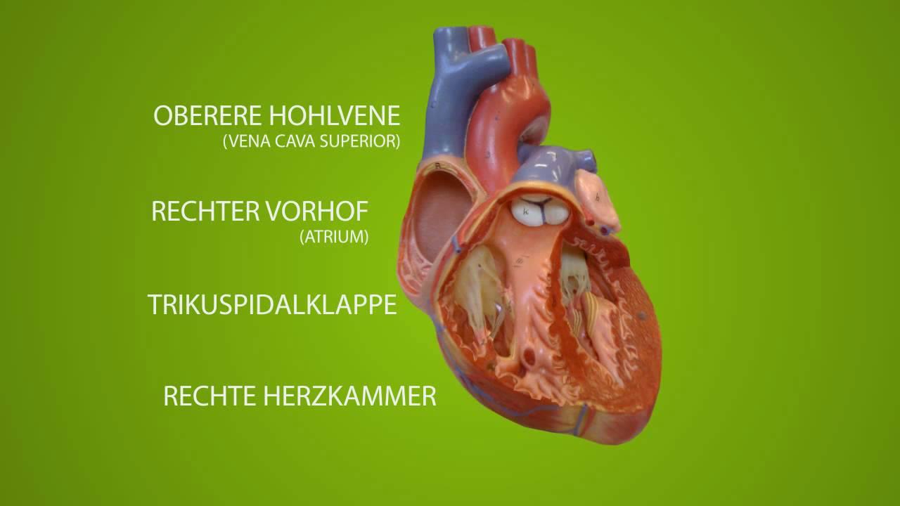 Anatomie des Herzen rechte Seite - YouTube