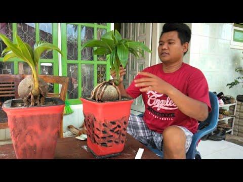 Bonsai Kelapa Gading Begini Jadinya Setelah Di Cat Youtube