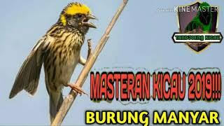 Download Masteran kicau suara burung MANYAR untuk terapi macet